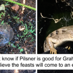 Woman Notices Beer Traps In Her Garden Are Being Moved Overnight, Finds Out It's A Lizard