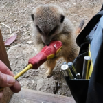 Adorable Bunch Of Meerkats Show Up To Give This Electrician A Helping Hand