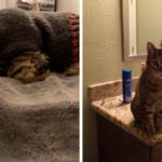 This Adorable Senior Cat Cries If His Sweater Is Taken Off